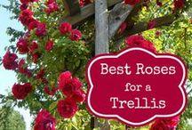 GARDEN - Climbing ROSES / How beautiful a secret garden would be with such beautiful climbing roses!!!  / by Michelle Eliason