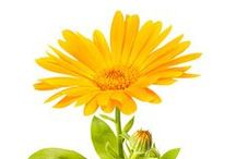 HERBS FOR PETS / Herbal remedies and treatments that are safe and effective for use with pets.