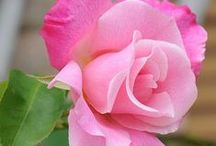 ::Roses... roses... roses...°✿⊱╮°
