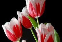 ::Tulips °✿⊱╮°