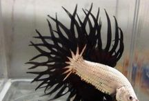 Betta fish / Betta fish