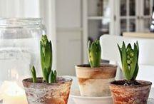 The Love of Hyacinth