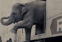 il destino degli elefanti di successo