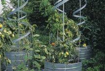 Tomater / Trädgård