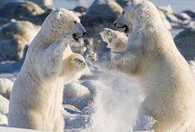 Polar Bears / One of my Spirit Guides...