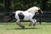 Dolly / This is our mare, Darby Dolly, she is one of the original 16 Gypsy Vanner Horses in the country.  She is a daughter of The Gypsy King, and a mare named Mary.  Born:  1995, and imported November 24, 1996.