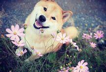 Shiba Inu ; a lovely dog !
