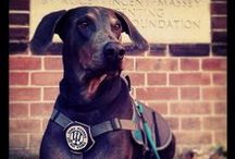 Everything Guardian Dan / Anything to do with the loyalty and dedication of  Service/Medic/Guide dogs. Including our own, Doberman Dan <3