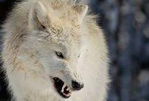 wolffang