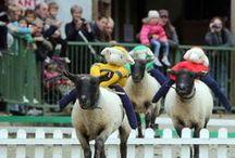Sheep Racing / The Big Sheeps World Famous Sheep Race