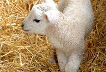 Lambs / New Lambs at the Big Sheep
