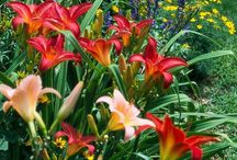 For the Love of a Daylily / What would you do if you only had one day?