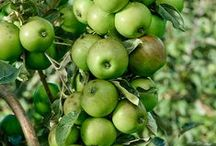 Apple Ber / When you wish to go for high quality apple ber plants, you can go for a good fruit nursery. Know about the advantages that you can get out of buying apple fruit plants from nurseries.