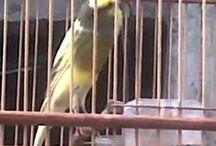 Kenari Canary