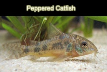 Freshwater Aquarium Fish -  Aquariumfische / Collection of nice aquariumfish pictures - Sammelbilder von Aquariumfischen