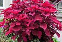 Plantera i krukor och lådor / Vackra växter som passar att plantera i krukor och lådor.