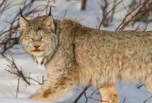 Lynxes...