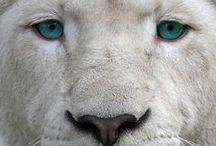 Lion tiger etc