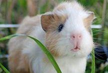 Guinea pig / cobaye