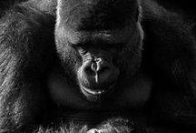 Gorilla/Apes