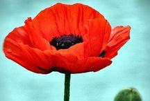❤ Red Poppy ❤