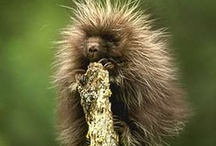 Porcupines / by Sandy Whittaker