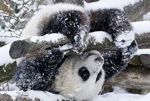 Panda Bears / by Sandy Whittaker
