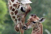 Giraffe-The Giants / by Sandy Whittaker
