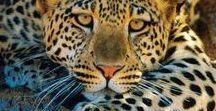 LEOPARD  ETC. / Vilda kattdjur