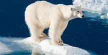 ISBJÖRNAR / Isbjörnar