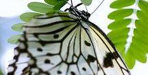 FJÄRILAR / Fjärilar