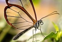Papillon / by Ceina H.
