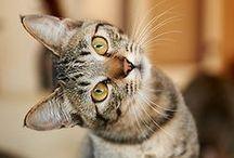 Gatos -Cats / ¿qué mano inmortal, qué ojo  pudo idear tu terrible simetría?