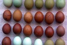 Criar gallinas / Gallineros, ponederos, escaleras, cobertizos, corrales y construcciones para gallinas, gallos, pollos y otras aves.