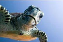 Sea Turtles / My favorite animal