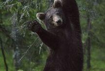 bears / karhut
