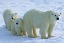 Polar Bears ! / by mangmoom