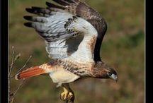 Enraptured with Raptors / Birds of Prey / by Carmen Arenas