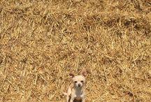 I ❤️ my Chihuahua