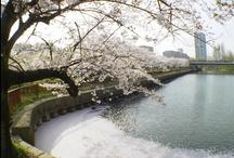 Sakura (Cherry-blossoms)