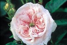 Roses  / My Roses 2012 / by Teresa Byington