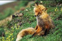Fox / by Emma Johansson