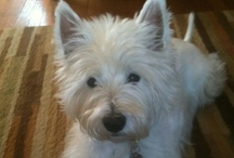 It's All About The Little White Dog / My beautiful, sweet 7 year old Westie, Oliver.  He loves to walk, play outside, but mostly he loves to sleep. / by Luci C.