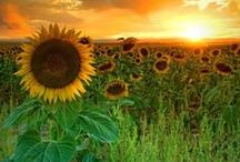 A Summer of Sunflowers / Welcome to my boards. Pin whatever inspires you.....no pin limits!!!!!