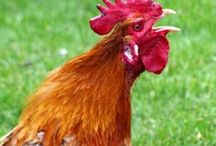 Chickens / Chickens, roosters, poultry, eggs, chicken care, chicken information, backyard chickens