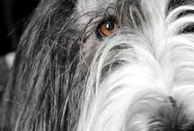 Nina e Mosè / Bearded collie and Bobtail  <3 <3 <3