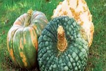 How to Grow and Cook with Winter Squash / They might be funky looking but they taste great and are very versatile.