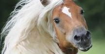 Haflinger horse breed / Haflinger photo