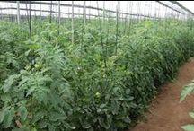 Cultivo de Tomate Raf / Haz un seguimiento al cultivo de nuestros tomates Raf.