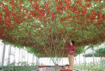 Curiosidades / Curiosidades relacionadas con el tomate